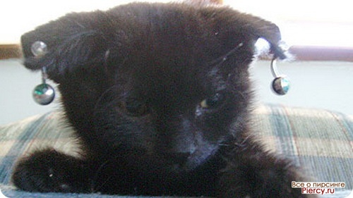Котенок с пирсингом